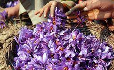 Lo zafferano si estrae da un fiore che, piantato in primavera, sboccia nei campi in ottobre. I petali hanno un bel colore che varia dal lilla chiaro al viola purpureo. La coltivazione, la raccolta e la lavorazione sono interamente artigianali, in assenza di qualsiasi tipo di meccanizzazione.