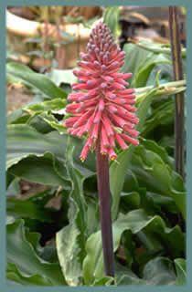 Catalogue de vente en ligne bulbes fleurs pour les for Fleurs vente en ligne