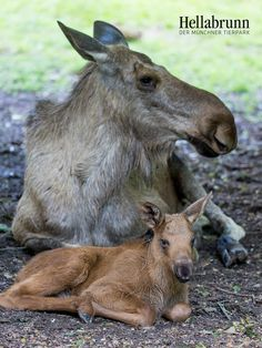 The youngest European Elk (Moose in North America) at Hellabrunn Zoo Munich was born on May 23. Check out ZooBorns to learn more and see more! http://www.zooborns.com/zooborns/2016/07/q-a-at-hellabrunn-zoo-munich.html