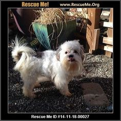Rescue Me ID: 14-11-18-00027Carl (male)  Maltese Mix  Age: Puppy  Compatibility:Good w/ Most Dogs, Good w/ Most Cats, Good w/ Kids and Adults Personality:Average Energy, Average Temperament Health:Neutered, Vaccinations Current  Meet Carl! He was found as a stray, matted and scared of anything he came in contact with. After a couple days in a foster home, and a much need trip to the groomer look at the difference! He's 1-2 years old, and labeled a Maltese Mix. He is current on…