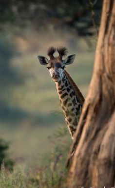 Giraffe by Carole Deschuymere