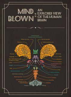Mind Blown: An Exploded View of The Human Brain Infographic via visual. Brain Anatomy, Anatomy And Physiology, Human Anatomy, Brain Facts, Info Board, Brain Science, Brain Injury, Brain Health, Mind Blown