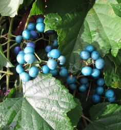 Porcelain-berry, one of the most beautiful INVASIVE vines in our area. The plant's berries come in shades of blue not normally found in plant life. They look like hard candy or gum balls that turn tongues blue.