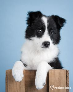 Baxter (Border Collie) - Baxter likes to put his best feet forward