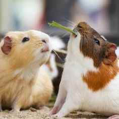 guinea pigs by sharene
