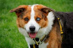 Whiskey the Welsh Collie