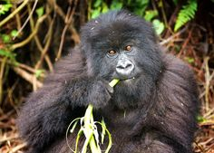 A #mountaingorilla's diet is made up of more than 100 different plants. It rarely needs to drink since it gets most of it's water from those plants! Photographed in #Uganda by Billy Dodson #gorilla #apes