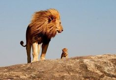 And one day, Simba, everything the sun touches shaLL be yours.