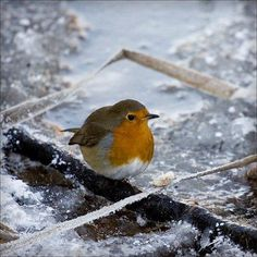 Twitter / RSPB_OldMoor: A lovely Christmas robin from ...