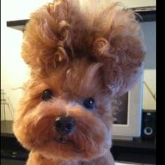 poor dog :,( no creature should have to go through the torment of a bad perm
