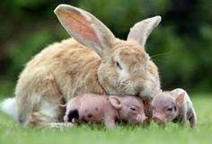 Resultado de imagen para conejo gigante de flandes