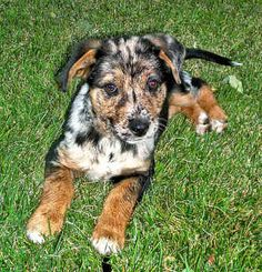 """AKC Catahoula Leopard Dog 
