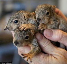 a trio of squirrel babies, found in the garden. Surely they'll be dead by morning. sigh.
