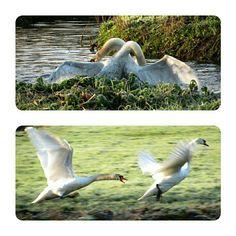 Zwanengevecht, swan fight