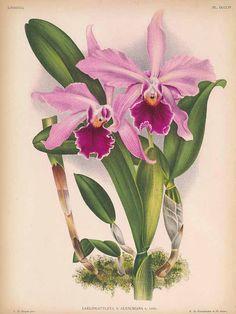 Laeliocattleya x aleschiana L.Linden Lindenia, Iconographie des orchidées [E. von Lindemann], Plates 721-768, vol. 16: t. 754 (1900) [C. De Bruyne]