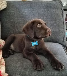Chocolate Lab Puppt