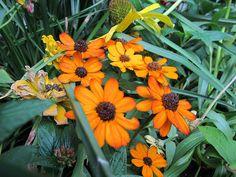 Indian Blanket Flower #gardening #ButterflyGarden #flowers