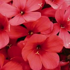Phlox paniculata Early Start™ Red Early Start™ Red Garden Phlox from Prides Corner Farms White Flower Farm, White Flowers, Annual Plants, Amazing Flowers, Farms, Habitats, Perennials, Corner, Garden