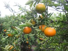 Las naranjas van directas del árbol a su mesa, sin pasar por ningún tratamiento previo ni cámaras de almacenamiento. Los productos no tienen ningún tratamiento post-cosecha, a base de ceras y fungicidas, por lo que el producto que le ofrecemos es mas sano para usted. Las variedades tempranas no están tratadas con etileno para dar color a la corteza. Las naranjas se cosechan y envían directamente al consumidor por lo que se garantiza la máxima frescura.