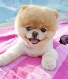 Boo is one of the cutest dogs ever! :)
