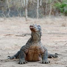 Komodo dragon awesome!!!!!!!!!!!!!! On my bucket list to see on in real life!!!!!!!!!!!!