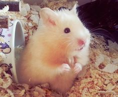 My Hamster Elvis ♡ 》What's going on? Teddy Hamster, Baby Hamster, Hamster Care, Funny Animal Memes, Funny Animals, Cute Animals, Cute Hamsters, Chinchillas, What Is Cute