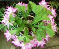 """RING A RING OF SCHLUMBERGERA """"BUTTERCLY MAGIC""""."""