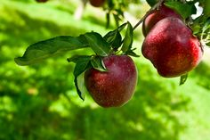 Most apple tree planting guides will tell you that apple trees can take a long time to fruit. This depends on several factors, of which this article for growing apple trees will cover in more detail.