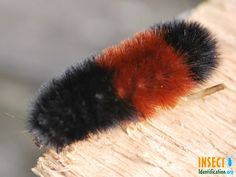Woolly Bear Caterpillar Moth is black with a red band in at the waist and is covered in bristles. It used to be believed that the amount of black coloration forecasted how bitter the winter would be, but it is actually related to the caterpillar's maturity. It feeds on many kinds of low-growing plants, but is not a pest on the farm or in the garden.