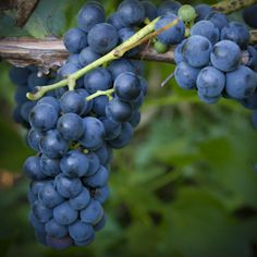 Valiant Grape Valiant is the hardiest of all grapes. The small purple/blue fruits are born in small loose clusters. Valiant is an early grape delicious fresh, but also good for juices and jams. Self fertile.
