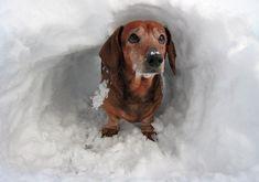 Snow_dachshund