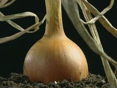 /The growing process of onions. Natural Playground, Vegetables, Food, Onions, School Ideas, Restaurant, Fruit, Children, Spring