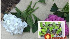 Na budúci rok zaplnia celú záhradu: Toto je najjednoduchší a najrýchlejší spôsob, ako si rozmnožiť hortenzie! Ale, Plants, Ale Beer, Plant, Ales, Planets, Beer