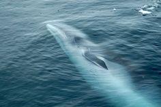 Sea Shepherd's Win Is Japan's Loss: Whalers Have Worst Season Ever Japan blames worst whaling season in history on 'sabotage' by anti-whaling groups as Sea Shepherd celebrates. --Shared to DESERT HEARTS Animal Compassion -  Phoenix, Arizona --3/13/2014 https://www.facebook.com/desertheartsphoenix