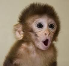 baby capuchin monkeys - Google Search <<<<<< how much cuter can monkeys be ?!?!