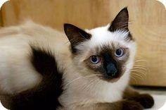 Troy, MI - Siamese. Meet Galavant, a kitten for adoption. http://www.adoptapet.com/pet/17378592-troy-michigan-kitten