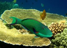 #singapore #parrotfish