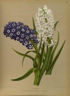 Hyacinthus hort. - circa 1881