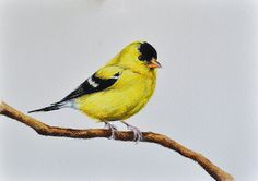 bird pencil drawing colored drawings yellow goldfinch illustration birds bright watercolor janus pencils tattoo simple exotic inch painting poems 5x8
