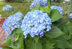 How to Care for Potted Hydrangeas in Winter | BCLiving
