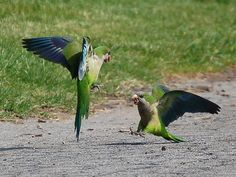 Two parrots in Greenwood Cemetery have a spirited argument on a concrete ...