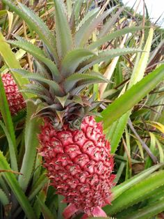 Red pineapple or Ananas bracteatus is a species of the pineapple commonly grown as ornamental plant for its decorative red fruit