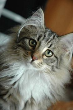 Norwegian Forest Cat. I love their ears and mane. Our cat is still small but he is starting to get that super long ear hair. :P