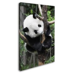 """Trademark Art """"Giant Panda IV"""" by Philippe Hugonnard Photographic Print on Wrapped Canvas Size: 24"""" H x 16"""" W x 2"""" D"""