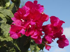 BOUGAINVILLEA - A vigorous tropical vine that adds vivid color to the garden. Paperlike bracts in red, orange, yellow, pink, purple or white envelope tiny white flowers. Provide well-drained soil and at least 6 hours of full sun. Thorny plant: wear heavy gloves to prune. Avoid overfertilizing; apply a low-nitrogen fertilizer in spring, midsummer and early fall. Bloom is best when the soil is slightly dry; water only to avoid wilting. USDA Hardiness Zone: 9 to 11