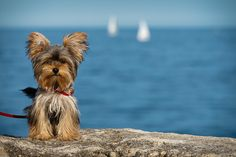 Here is one fun collection from Yorkie pictures at the beach. Yorkies love the beach and these photo Yorkies, Yorkie Puppy, Cute Puppies, Cute Dogs, Dogs And Puppies, Corgi Puppies, Schnauzers, Yorky Terrier, Bull Terriers