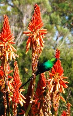 Birdviewing and plants in Pringle Bay/Kogelberg Biosphere. aThis is the place to discover the nature! Why dont you stay at Dreams? www.daydreams.co.za South African Recipes, Diversity, Flora, This Is Us, Southern, Dreams, Animal, Nature, Plants
