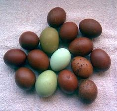 Olive eggs from my Olive Eggers, bred by me--with two white eggs for comparison. UPDATE: My Olive Eggers are laying olive eggs! Chickens And Roosters, Pet Chickens, Raising Chickens, Chickens Backyard, Bantam Chickens, Keeping Chickens, Backyard Farming, Easter Egger Chicken, Chicken Eggs