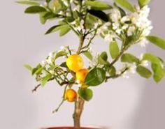 viburnum tinus gwenllian laurier tin plante en godet viburnum tinus gwenllian laurier tin