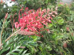 Grevilleas are among the most popular native plants in Australian home gardens and flower most of the year. Here are our top 'red' & 'pink' varieties:  http://www.austraflora.com/tips-for-planting-grevilleas/    #grow #natives #australia #plant #garden #austraflora #aboutthegarden #searlegardenproducts